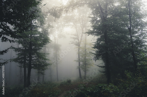 foggy forest background - 88078100