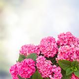 Naklejka pink  hortensia flowers