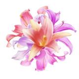 Beautiful  pink Lily