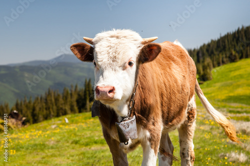 Fototapeta Cow Cath Loitering on Green Pasture Meadow