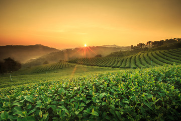 Tea Plantation in Chiang Rai,North of Thailand.