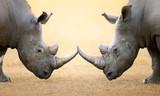 White Rhinoceros  head to head