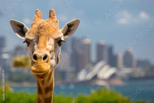 Fotobehang Sydney Taronga Zoo Giraffes