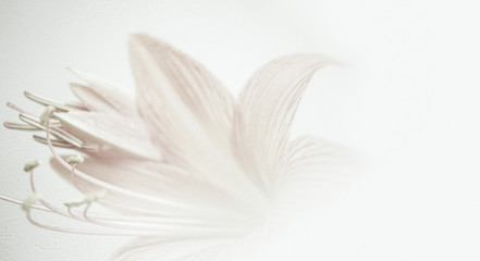 sweet color petal lily in soft color and blur style on mulberry paper texture for background