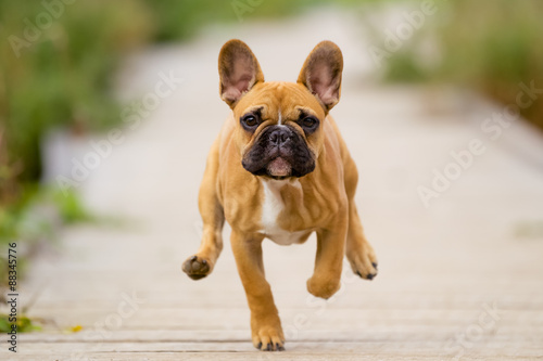 Poster Franse bulldog Running French Bulldog Puppy