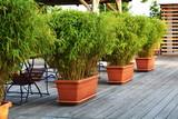 Fototapety green bamboo in flowerpots