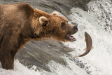 Fototapety Brown bear about to catch a salmon