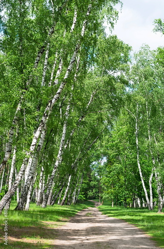 forest road in a birch grove