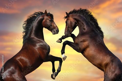 Zdjęcia na płótnie, fototapety na wymiar, obrazy na ścianę : Two bay  stallion  with long mane rearing up against sunset sky