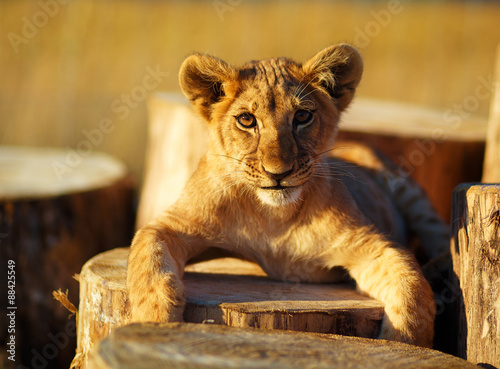 Fotobehang Lion cub in nature and wooden log. eye contact