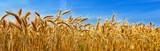 Wheat - 88429504