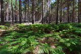 Bosque de pinos y helechos. La Cabrera, León.