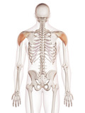 medically accurate muscle illustration of the deltoid poster