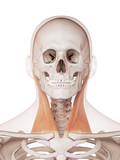 medically accurate muscle illustration of the sternocleidomastoid poster