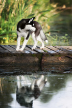 husky standing on the brink of a lake
