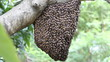 Bee workers holding together for beehive