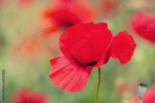 Macro image of red poppy flowers, with small depth of field © smallredgirl
