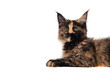 Maine Coon kitten sitting in front of white background. Cat three months.
