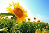 Fototapety 夏空にひまわりに太陽