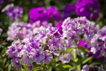 Phlox paniculata (Garden phlox) in bloom