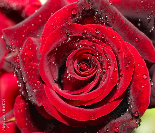 Drops of water on the rose