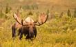 Moose, Denali