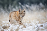 Fototapety Eurasian lynx cub walking on snow with high yellow grass on background