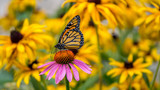 A Monarch Butterfly on a purple Echinacea cone flower amidst yellow Rudbeckia Goldsturm flowers