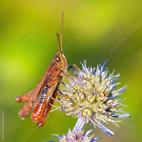 Кузнечик (Tettigonioidea) на Синеголовнике плосколистном  (Eryngium planum)