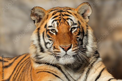 Portrait of a Bengal tiger (Panthera tigris bengalensis).