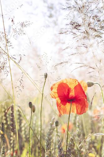 Naklejka Wild meadow with poppy flowers, nature background.