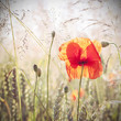 Wild meadow with poppy flowers, nature background. - 88821300