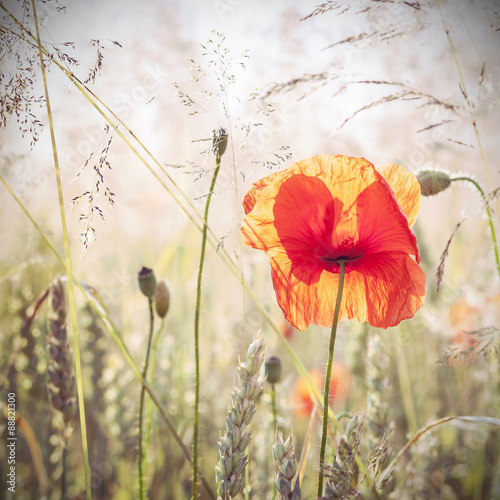 Panel Szklany Wild meadow with poppy flowers, nature background.