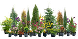 Shrubs in containers - 88827514