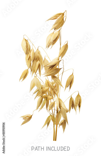 Yellow oat head 2 isolated on white background