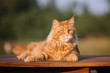red maine coon cat lying down outdoors