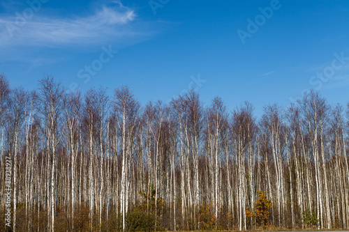 Birch trees arrangement