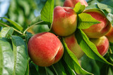 Fototapety Ripe sweet peach fruits growing on a peach tree branch