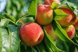 Fototapety Ripe sweet peach fruits growing on a peach tree branch