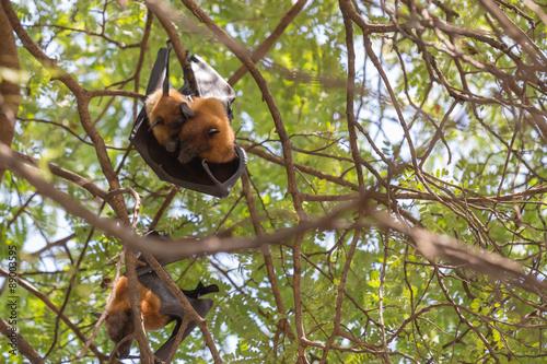 Staande foto Kip Flying foxes hanging on a tree.