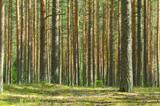 Fototapety Summer Pine Forest
