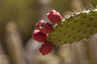 Prickly pear cactus, Opuntia, blooms in the Sonoran Desert, Arizona