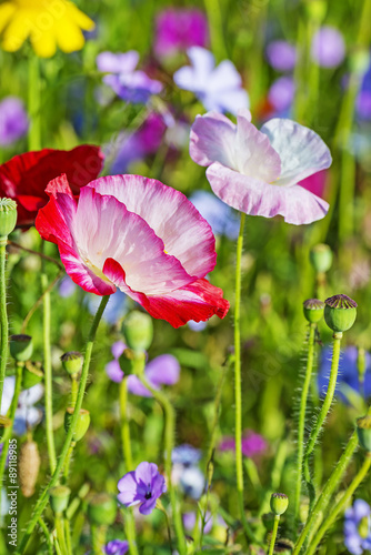 Naklejka summer meadow with red poppies
