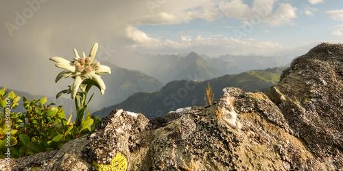 Alpenblume Edelweiss als Panorama - 89160367