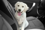 Fototapety Cute Labrador retriever dog in car