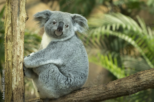 Juliste Koala closeup