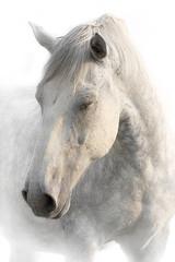 Portret spania szary koń na białym tle