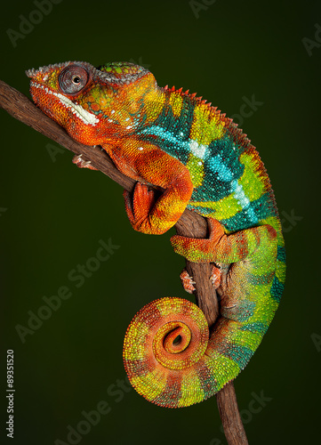 Fotobehang Kameleon Panther Chameleon at rest