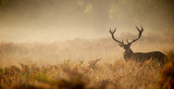 Fototapety Red deer stag silhouette in the mist