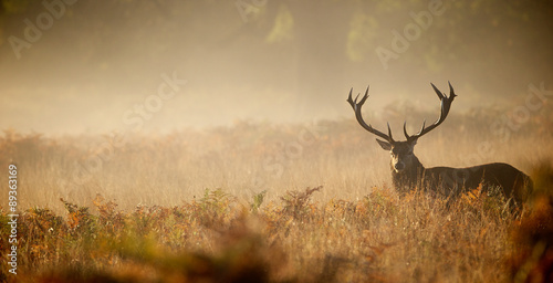 Poster Red deer stag silhouette in the mist